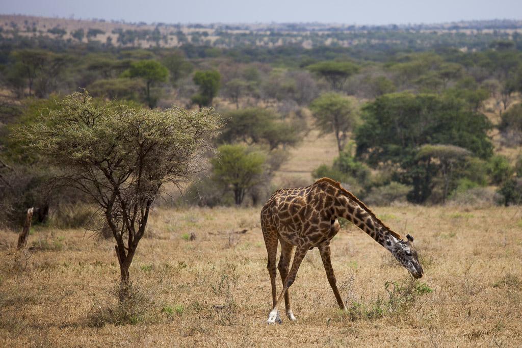 29072015 - Tanzania -  Serengeti 5D - _MG_6122